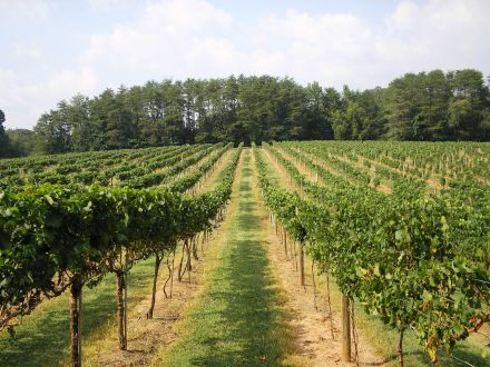 A personal shot of rows of vines taken at West Bend Vineyards; Sept 2011